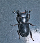 Title: Male Stag Beetle