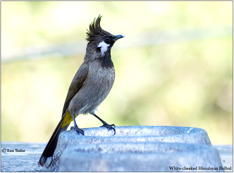 White-cheeked, Crested Himalayan Bulbul