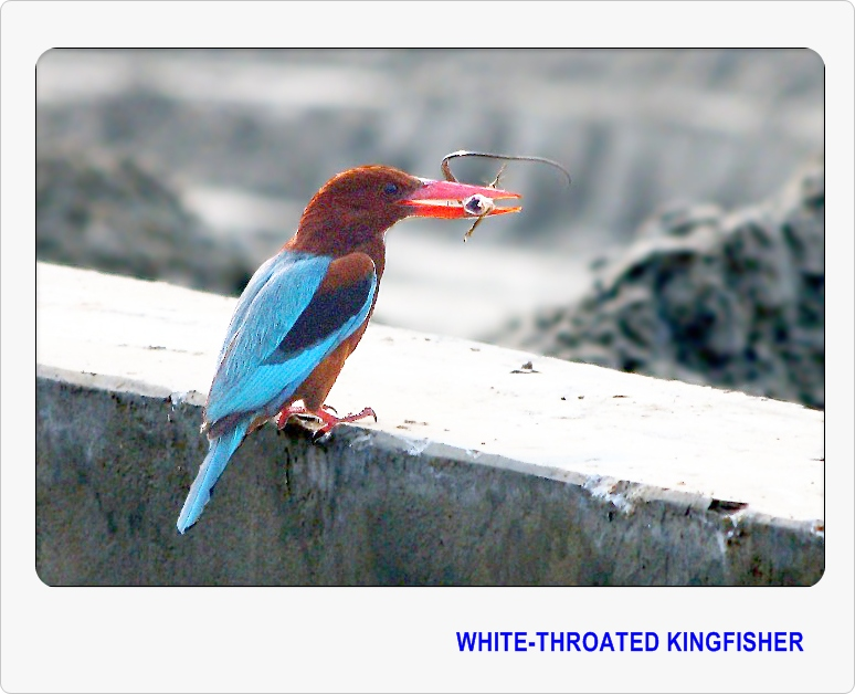 White-throated Kingfisher - II