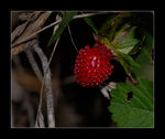 Title: Wild Strawberry