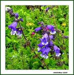 Title: WILD FLOWERS AT SACH PASS