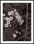 Title: WILD FLOWERS IN SEPIA