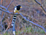 Title: Yellow-billed Blue Magpie