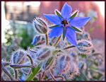 Title: Borago Officinalis