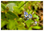 Title: Early Forget-me-Not