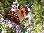 Title: Red Admiral on Rosemary II