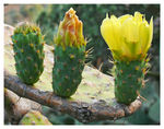 Title: Opuntia Three
