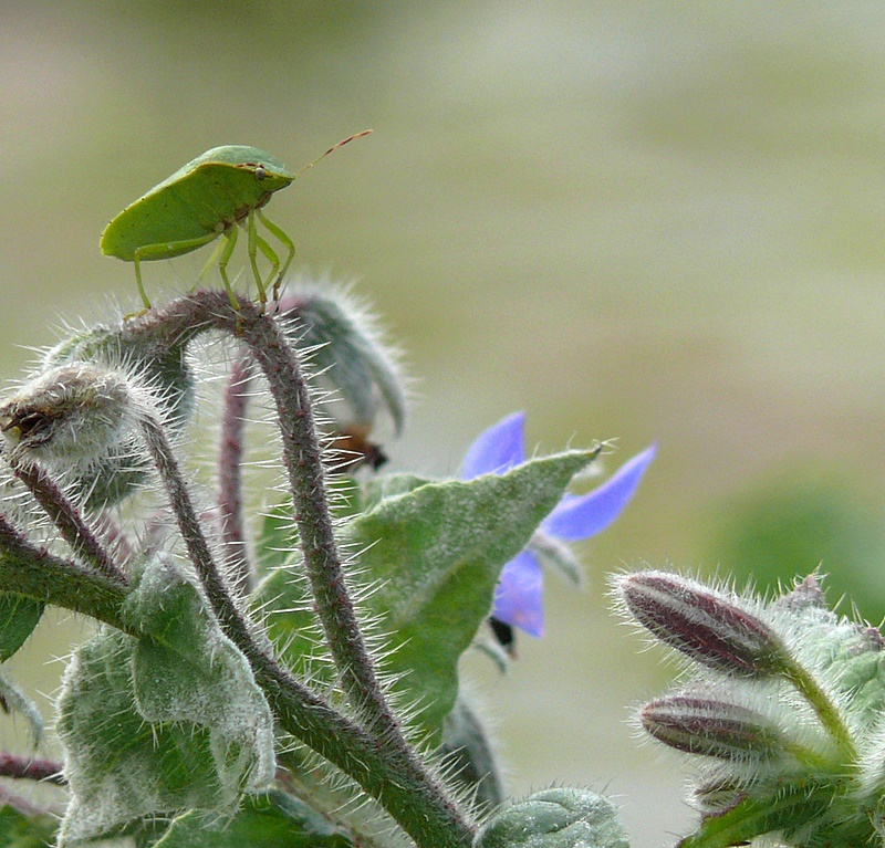 On Borage
