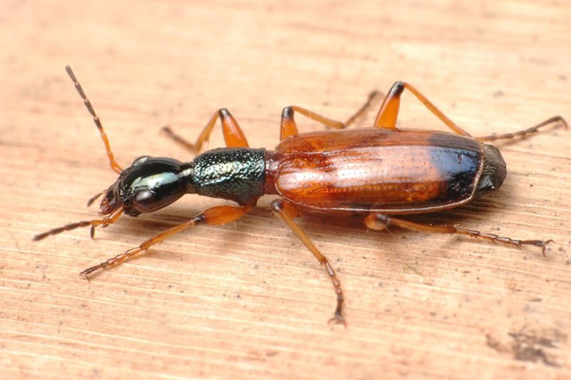 Colourful ground beetle