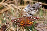 Title: Two Emperor Moths