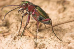 Title: A Tiger Beetle