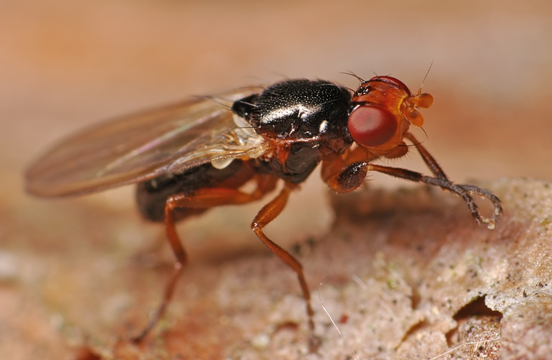 A cheese fly