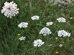 Title: Candytuft / Carraspique blanco