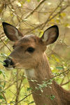 Title: doe yearling
