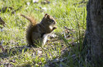 Title: Little Red Squirrel