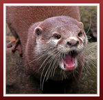 Title: Shouting Otter