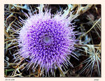 Title: thistle flower