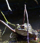 Title: frog