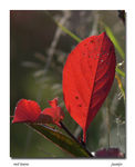 Title: red leave