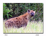 Title: spotted hyaena