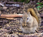 Title: Squirrel Manitoba