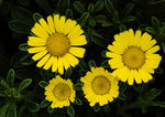 Title: yellow daisies
