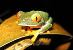 Title: Red-Eyed Tree Frog