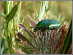Title: Beetle on a Thistle