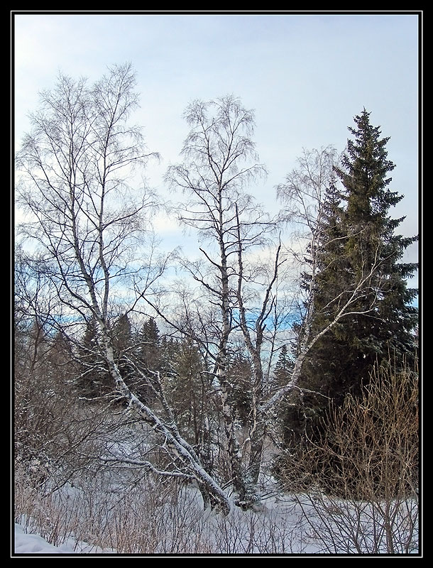 Birch and Spruces