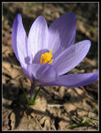 Title: Crocus VernusCanon IXY Digital 900 IS
