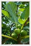 Title: Common Fig