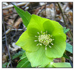 Title: Green HelleboreCanon IXY Digital 900 IS