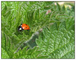 Title: Ladybird in the Stinging Nettle