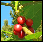 Title: Tree Tomatoes