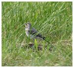 Title: White Wagtail