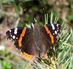Title: Red AdmiralOlympus C770 UZ
