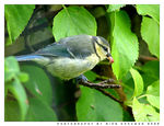 Title: Young Great Tit