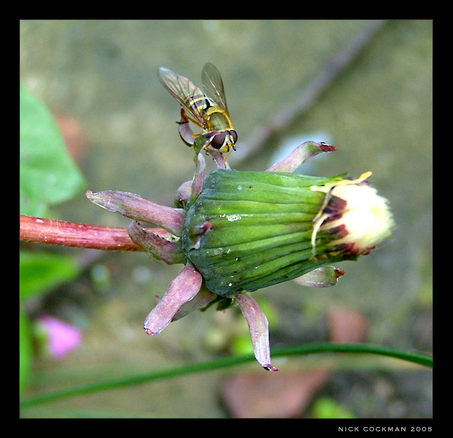 Dandelion Insect