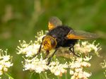 Title: Diptere tachina grossa