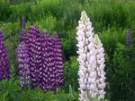 Title: Lupins