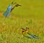 Title: Flight of the Bee Eater!