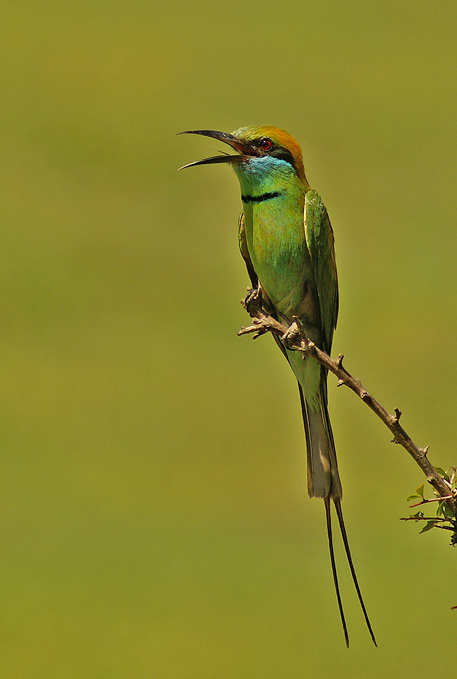 Bee Eater on perch!