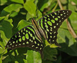 Title: Tailed Jay!