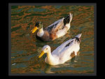 Title: Evening ducks!Sony Alpha 100