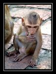 Title: Young Monkey