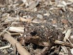 Title: camouflaged Frog