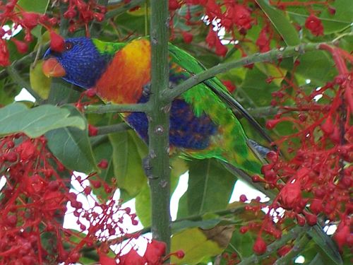 Rosella in a tree