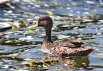 Title: Yellow Billed Duck