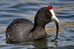 Title: Red Knobbed Coot