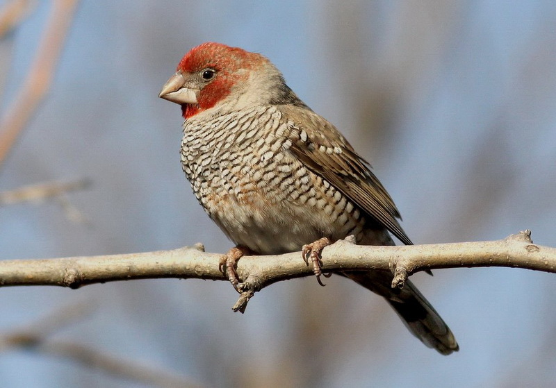 Red Headed Finch